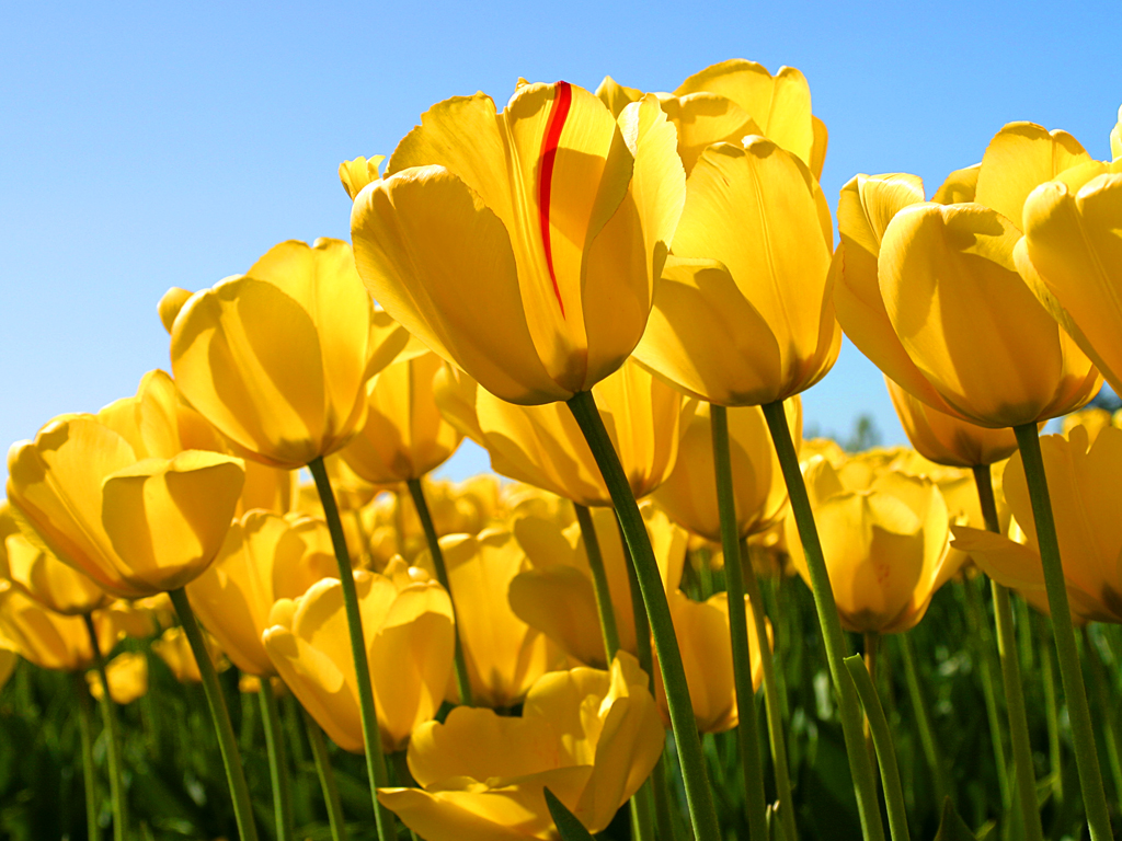 tulips - תודה מקרב לב לכל המברכים והמתפללים